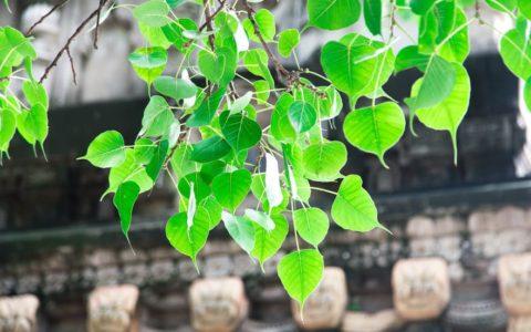 ブッダガヤ:菩提樹様